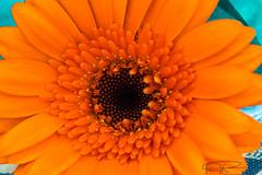 Orange Gerbera (athinaengland) Tags: orange plant flower colour macro gerbera daisy macrophotography summerflower brightcolour transvaaldaisy orangegerbera daisyflower daisyplant sunshinecolour
