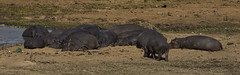 Snoozefest (philnewton928) Tags: africa wild nature animal southafrica mammal outdoors nikon natural outdoor wildlife safari hippo hippopotamus animalplanet krugernationalpark kruger hippopotamusamphibius letaba d7200 nikond7200