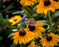 Buckeye Butterfly - Junonia coenia (rhn3photo) Tags: flowers june butterfly sunflower wildflowers rudbeckia blackeyedsusan buckeye 2016 hobcaw junoniacoenia hobcawbarony