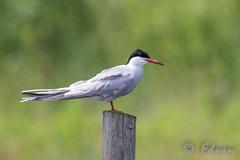 Visdief, Common Tern, Sterna hirundo (Edwin010) Tags: white bird nature water outside pole ng mei stern vogel vlaardingen 2016 commontern sternahirundo broekpolder visdief paaiplaats