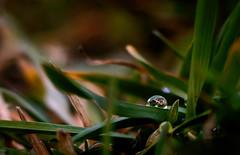 Lonely drop (coagator) Tags: mountain plant green water grass leaves rain leaf spring serbia drop srbija zlatar d3200