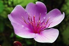 Flor manac-da-serra  / florlils_0001a (Joo Batista**) Tags: flower nature natureza flor manacdaserra