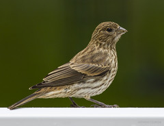 Female House Finch - Southern New Jersey (redforester) Tags: green bird nature newjersey spring backyard wildlife small finch gardenstate deckrailing anthonycedrone