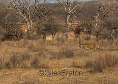 TIG01709GB_1 (giles.breton) Tags: india tiger tigers endangered ranthambhore panthera threatened andyrouse ranthambhorenationalpark pantheratigristigris royalbengaltiger dickysingh