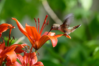 Rufous Hummingbird, backyard, 5-31-2016