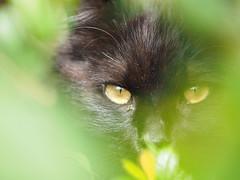 Cat's eyes (dayonkaede) Tags: eye cat olympus f28 m40150mm