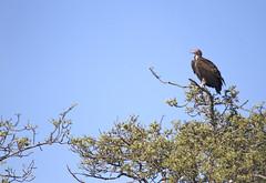 Lappet-faced Vulture- Kruger National Park, South Africa (wsweet321) Tags: africa bird nature southafrica mammal birding safari research endangered krugernationalpark kruger satara bigfive skukuza knp lowersabie