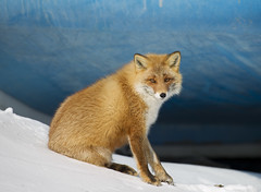 Japan (richard.mcmanus.) Tags: japan hokkaido redfox nemuro fox winer wildlife animal mcmanus gettyimages