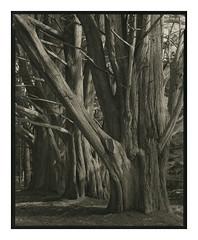 Moss Beach Cypress Grove (Summicron20/20) Tags: deardorff v8 8x10 inch field camera rodenstock sinaron s 300mm f56 apo sironar n kodak 320txp palladium print alt process palladiotype
