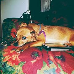 #mydog  (robertasarritzu) Tags: mydog
