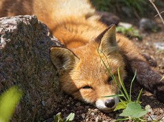Sleeping fox (Digikuvaaja) Tags: red wild summer portrait orange baby brown cute nature beautiful animal closeup forest puppy fur mammal outdoors nose cub countryside spring eyes furry woods natural little sweet head wildlife small young adorable canine single fox environment hunter kit curious wilderness predator offspring carnivore redfox vulpes