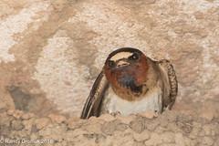 Cliff Swallow (rdroniuk) Tags: birds passerines swallows smallbirds cliffswallow petrochelidonpyrrhonota oiseaux passereaux hirondelles hirondellefrontblanc