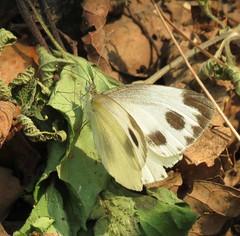 Pieris brassicae nepalensis, Nepalese Large Cabbage White (Birdernaturalist) Tags: nepal butterfly pieridae richhoyer