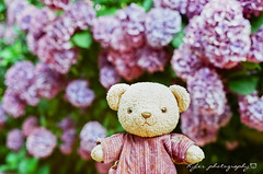 明月院 (紅襪熊) Tags: bear film japan pentax takumar bokeh super 55mm 200 m42 hydrangea f18 18 55 アジサイ spf ajisai 鎌倉 filmphotography 紫陽花 熊 明月院 繡球花 底片 supertakumar55mmf18 銀鹽 熊出沒 uxi efiniti efinitiuxisuper200