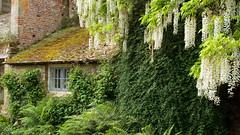 Castle Garden 3629 (Thorbard) Tags: summer castle garden outdoors kent statelyhome nationaltrust 14thcentury wisteria countryhouse scotneycastle englanduk summer2016