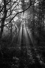 Rays (DanRSmith) Tags: bw blackandwhite sunrise rays wood light dark shadow olympusmju1 ilfordhp5 rodinal