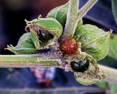 The Black Pearls (haidarism (Ahmed Alhaidari)) Tags: black pearl blackpearl flower bud plant bokeh outdoor nature depthoffield sonya65 macro macrophotography green leaf ngc