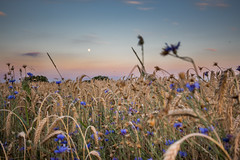 Erntezeit (lensflare82) Tags: sunset red summer sky panorama cloud sun moon flower nature field grass barley sunrise canon germany landscape bayern deutschland bavaria eos dawn evening mond soleil ray glow sonnenuntergang angle time outdoor dusk sommer wheat horizon natur wide smooth harvest feld himmel wolke atmosphere ciel gras nuage blume landschaft sonne sonnenaufgang ultra atmosphre horizont cornflower bluebottle kornblume afterglow ernte lightroom kornfeld abendrot granne cyanus weitwinkel centaurea gerste weizen roggen hre lr6 ultraweitwinkel erntezeit 700d hurtsickle