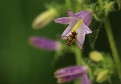 See Buy Fly (eMMa_bOOm) Tags: macro nature colours natural honey romania handheld campanula coloured botanicalgarden cluj clujnapoca syrphida syrphidaspecies alexandruborzaclujnapocauniversitybotanicgarden grădinabotanicăalexandruborzaauniversităţiiclujnapoca