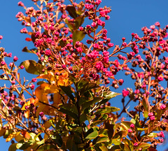 Tiny Pink Flowers (Jocey K) Tags: flowers autumn newzealand christchurch sky plant leaves may monavale
