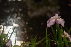 53Yamada Pond Park (anglo10) Tags: flower japan nightscape