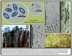 Peziza succosella (Le Gal & Romagn.) et al. (Claude Kaufholtz-C.) Tags: mushrooms fungi pilze mycology champignons mycologie fongi pezizasuccosella pilzkunde planchemicrographique
