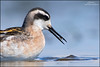 Red-necked Phalarope (www.lirongertsman.com) Tags: redneckedphalarope phalaropuslobatus phalarope phalaropes shorebird shorebirds shorebirdmigration shorebirdphotography shorebirding shore shorebirdphotographyworkshop pacific pacificnorthwest pacificcoast pacificflyway migration migrating migratory migratoryshorebird migrant boundarybay delta deltabccanada bc britishcolumbia canada lowermainland greatervancouver metrovancouver vancouver bird birds birding birdphotography birdwatching nature naturephotography natural wild animal animals wildlife wildlifephotography lironsnaturephotographycom canon canon7dmarkii canoneos7dmarkii 7dmarkii fraserriverdelta mud mudflats intertidal canonef400mmf56lusm 400mm 560mm 14x 14xiii canon14xteleconverter canonef400mmf56lusm14xiii