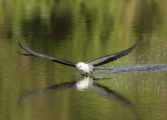 Young STKI Skimming VS7A6064 (Nature Photos by Scott) Tags: kite swallowtailedkite swallowtailed bird birds birding narurephotography wildlife wild scotthelfrichphotography scotthelfrich nature florida beautiful art skimming