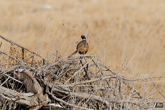 Ring-necked Pheasant (cebuphotographer) Tags: utah antelopeisland ringneckedpheasant nikoncapturenx nikond300 nikon200500mmf56