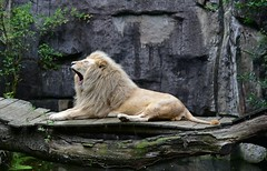 Lazy saturday (Pics4life.nl off and on next week) Tags: zoo lion sleepy witte whitelion leeuw