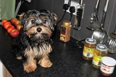 Flo Yorkie Poo Puppy visiting friends kitchen (@oakhamuk) Tags: flo yorkiepoo puppy visiting friends kitchen martinbrookes