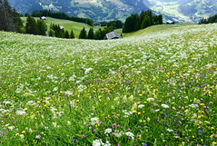 Blumenmeer (balu51) Tags: wanderung landschaft wiesen blumenwiese blumenmeer wildblumen tal tiefblick grün weiss alp hiking landscape valley meadow grass flower blooming wildflowers green white evening graubünden surselva rheintal alpen schweiz juni 2016 copyrightbybalu51