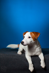 The Russell (Niuq) Tags: jackrussellterrier redandwhite flash blue wall puppy dog alert beautiful eyes nose paws wagging tail homestudio