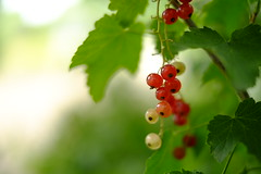 fruit of a midsummer/ (kurupa_m) Tags: fruit summer red plant hokkaido