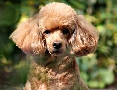 Freshly Groomed (Donna JW) Tags: picmonkey miniaturepoodle dog pet redpoodle freshlygroomed