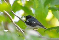 Black-throated Blue Warbler (av8s) Tags: blackthroatedbluewarbler warbler songbirds perchingbirds birds wildlife nature photography nikon d7100 sigma 120400mm mageemarsh ohio oh