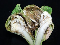 Cabbage: Black rot (Scot Nelson) Tags: xanthomonascampestrispvcampestris cabbage crucifer black rot bacterial bacterium bacteria