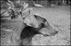 Max (Leandro C Rodrigues) Tags: film analogic bw filme analogico pretoebranco hp5 ilford canon ftb soligor dog cachorro dobermann blackandwhite monochrome