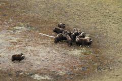 Muskoxen, aerial photo (Jared Hughey) Tags: wild animal wildlife landscape scenery wilderness nature bird mammal research science nationalparkservice beringlandbridgenationalpreserve sewardpeninsula westernarctic northwest alaska