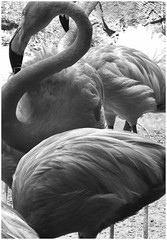 Flamingos in Mono (photo.po) Tags: canong10 canongseries canon symmetry tone birds monochrome blackandwhite sanantonioriverwalk flickrclubsa tx
