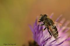 zweefvlieg (Agnes Van Parijs) Tags: macro zweefvlieg insect