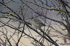 Golden-crowned Sparrow (glenbodie) Tags: glen bodie glenbodie dncb dike 201350 goldencrowned sparrow