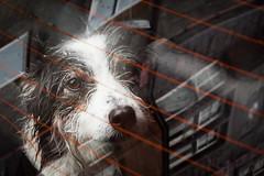 Back seat pup (KClarkPhotography) Tags: scotland travel kclarkphotography scottish dogs border collie back seat patient pup loyal friend