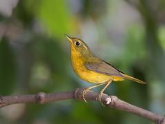 Golden Bush Robin (f) _ -08  (mahi mahi 163) Tags: robin 600mm  china