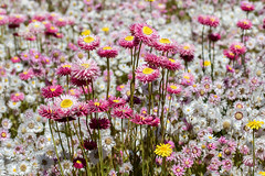 Rosy Everlasting  162 8616 (Ken Griffiths - Naturally wild Photography) Tags: everlasting