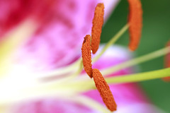 Stamen of Lily (Johnnie Shene Photography(Thanks, 1Million+ Views)) Tags: stamen lily lilium depthoffield flora floral flower plant flowering photography horizontal outdoor colourimage fragility freshness nopeople foregroundfocus adjustment halflength beautiful wonder awe pink red nature natural wild wildlife livingorganism tranquility tranquilscene macro closeup magnified petal corolla korea day single lighteffect bright luminosity vibrant canon eos600d rebelt3i kissx5 tamron 90mm f28 11 lens    korean summer distorted tigerlily