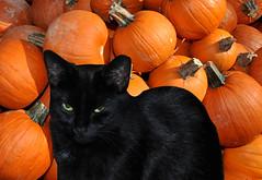 Black Cat with Pumpkins (greenelent) Tags: nyc halloween animal brooklyn cat blackcat pumpkins photoaday 365 orangeandblack