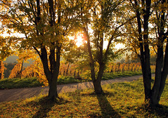 Backlight in the Vineyard (Habub3) Tags: autumn backlight canon vineyard herbst powershot gegenlicht g12 2014 habub3
