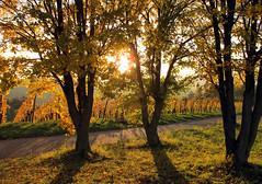 Backlight in the Vineyard (Habub3) Tags: autumn backlight canon vineyard herbst powershot gegenlicht g12 2014 habub3