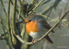Robin (amhjp) Tags: winter bird robin birds britain yorkshire british ornithology britishwildlife robinredbreast rspb fairburnings amhjpphotography amhjp